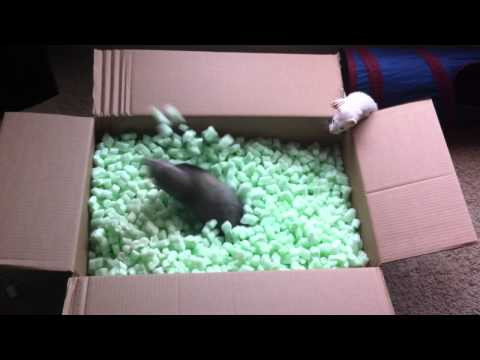Ferrets Love Playing in Packing Peanuts