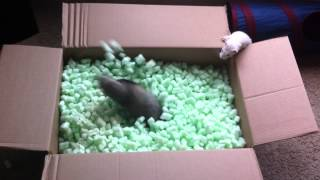 Смотреть онлайн Милые хорьки играют в коробке с пенопластом