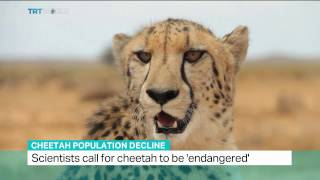 Cheetahs face global extinction risk