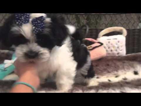 Lovable baby boy, Mal-shi puppy