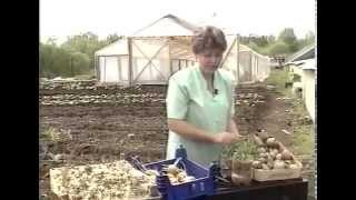 Предпосадочное проращивание картофеля