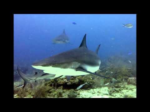 Shark Dive , Cara a cara - Coxen Hole - Roatan,Honduras