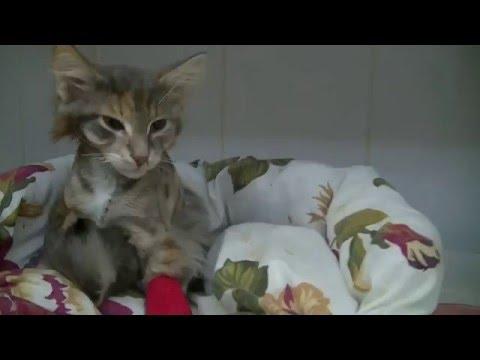 Ветклиника  Инновет.  Пневмоторакс у кошки, разрыв трахеи. pneumothorax. pneumothorax in cats.