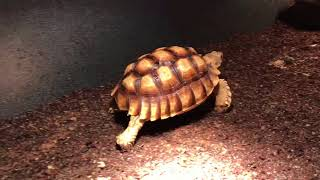 African spur tortoise 2.5 years old