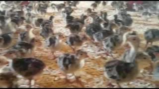 diyarbakır hindi çiftliği  barut hindicilik
