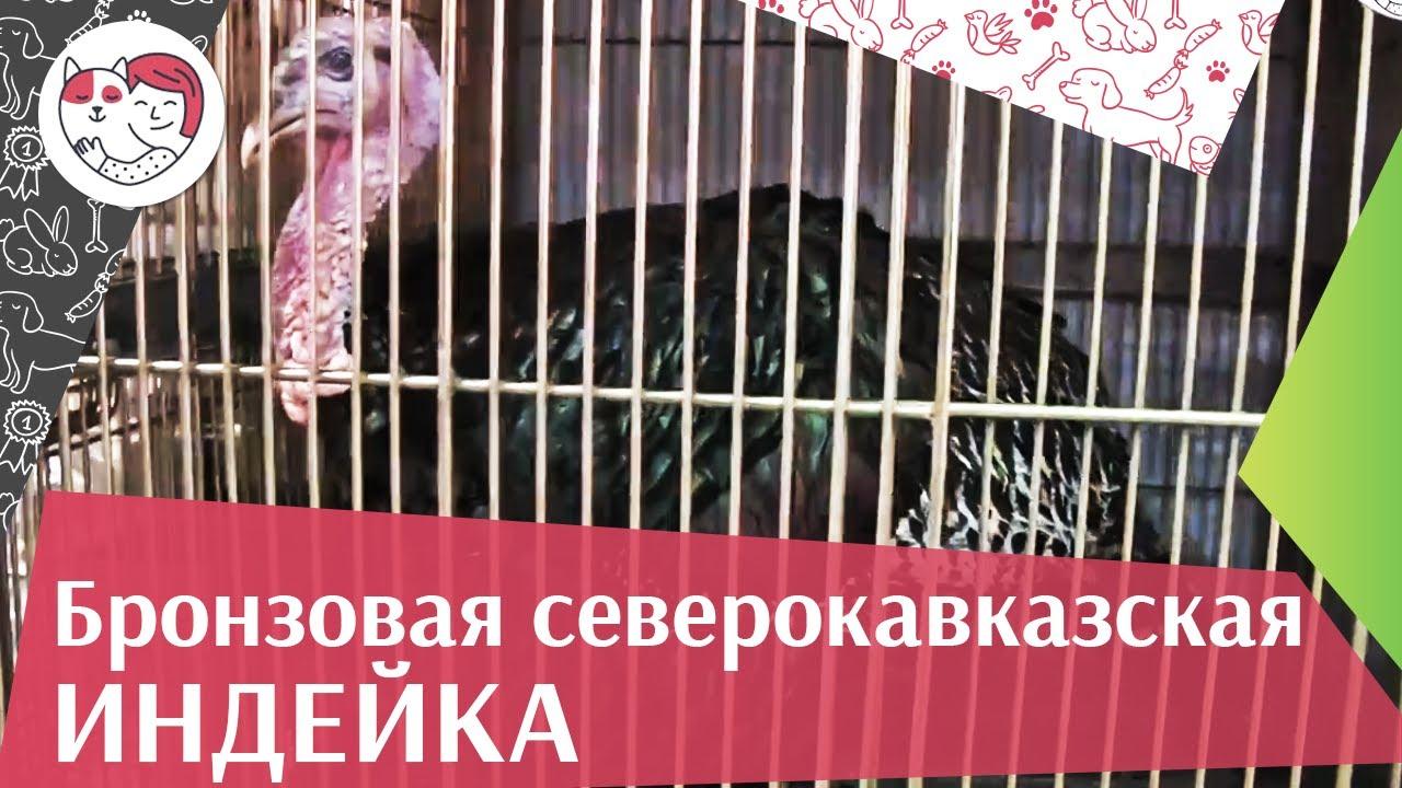 ИНДЕЙКИ БРОНЗОВАЯ СЕВЕРОКАВКАЗСКАЯ Агропромышленная выставка Золотая осень 2016 iLikePet
