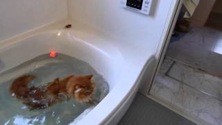 【マンチカンズ】猫がアヒルを追ってドボン~ A cat fell into the bath-tub 2~