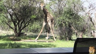 From My Patio - Giraffe Came To Visit