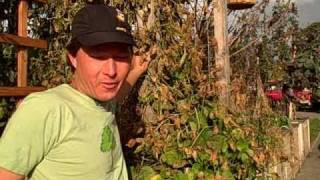 Scarlet Runner Beans - Growing and Harvesting