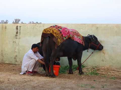 Milking of DHANNO in CIRB HISAR 2nd milking (Evening of