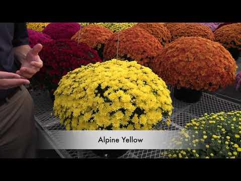 NEW Late-Season Garden Mums thumbnail