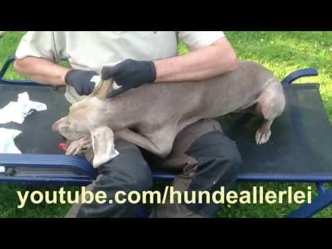 Ohrenreinigung beim Hund - wie geht das ? wie putze ich die Ohren richtig ?