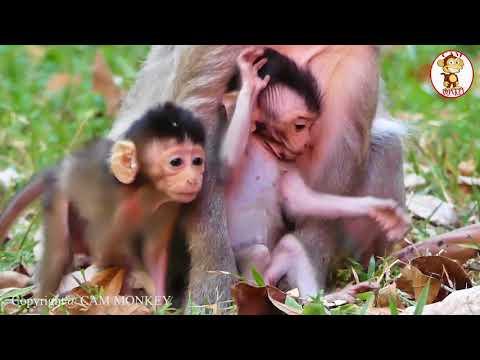 New Monkey - Newborn Twin Baby Monkey - Funny Baby Monkey - Twin Baby Monkey