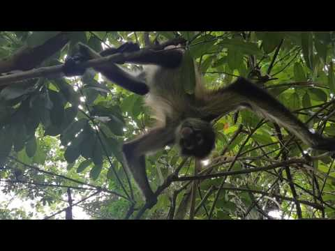 Spider Monkey at Punta Laguna Reserve in Mexico