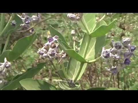 Video Holy Tree of Hindus Violet Flowers Rui,Mandara,Milkweed,Calotropis gigantea