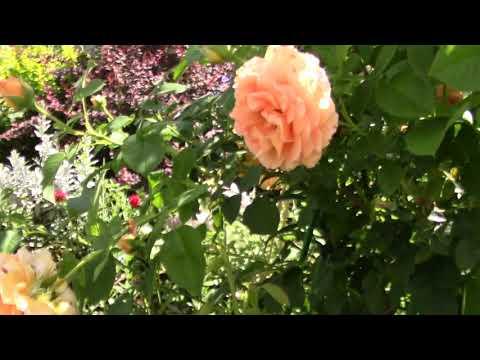 Цветение розы Polka (Meilland Франция, 1991,  клаймбер) 14.07.2018