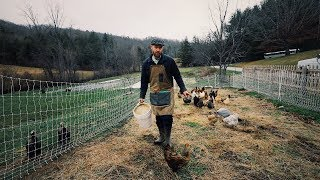 Chickens To Make Light Work Of Tilling In Cover Crop