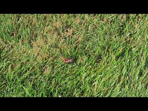 Cicada Killer Wasp on the Hunt in Cream Ridge, NJ