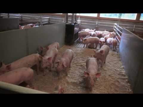, title : 'Tierfreundliche Haltung und gentechnikfreie Fütterung: Schwein mit Ländle Gütesiegel