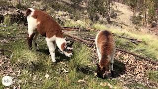 Alpakas: Unsere Lieblingstiere in Bolivien