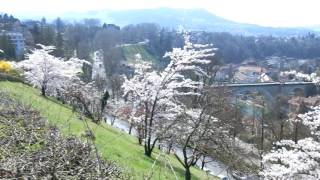 スイス発 2017ベルンばら公園ソメイヨシノ桜3月28日【スイス情報.com】