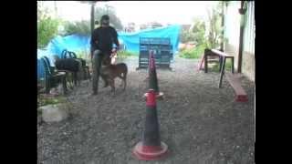 אילוף כלבים - משמעת מתקדמת