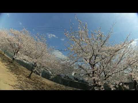 FullSpeed TinyLeader 桜(cherry blossom)