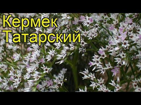 Кермек татарский. Краткий обзор, описание характеристик, где купить саженцы limonium tataricum