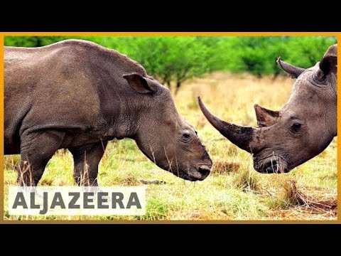 🇿🇦 Efforts to save endangered rhinos in South Africa show hope l Al Jazeera English