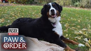 Paw & Order: Family's Bernese Mountain Dog Is Prime Suspect in Birdseed Mess