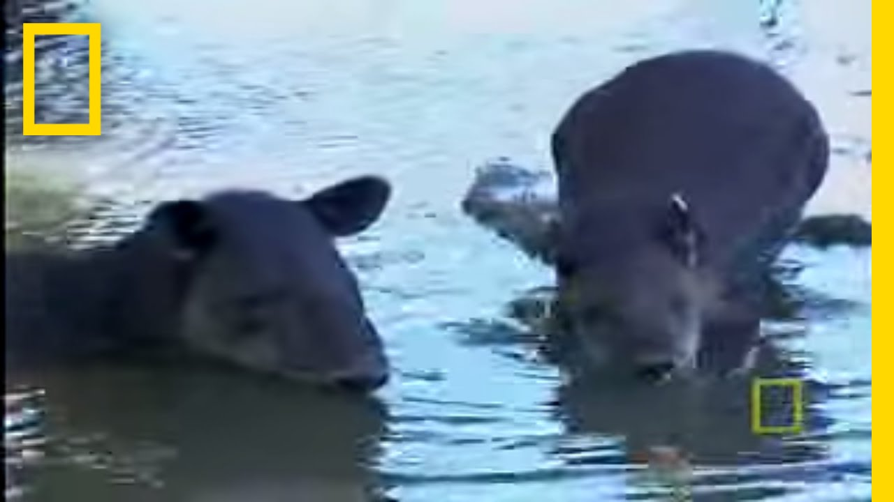 What in the World is a Tapir? | National Geographic thumbnail