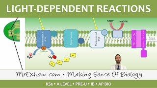 Photosynthesis   Light Dependent Stage   Post 16 Biology (A Level, Pre U, IB, AP Bio)