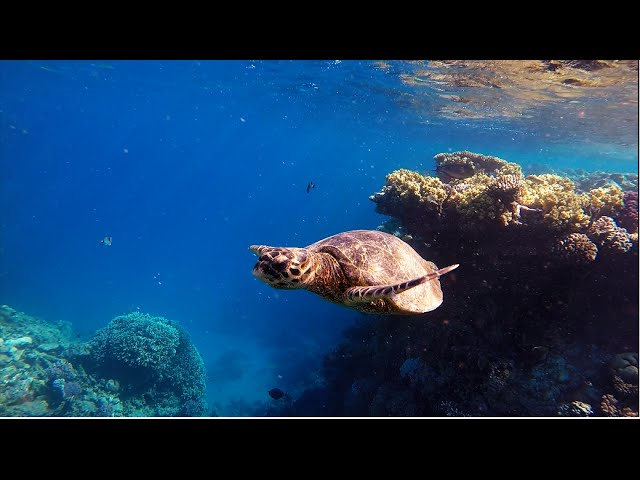 GoPro: best snorkeling in Egypt - Lahami Bay [HD] - (dolphins, sharks, turtles)