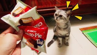 My Cat Follow Me For Food | She Like Eat Cheese So Much | Funny Cat Vines  2017 [Funny Pets]