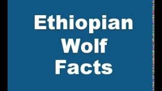 Ethiopian Wolf Facts - Facts About Ethiopian Wolves