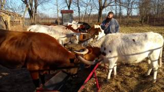 Feeding The Longhorns
