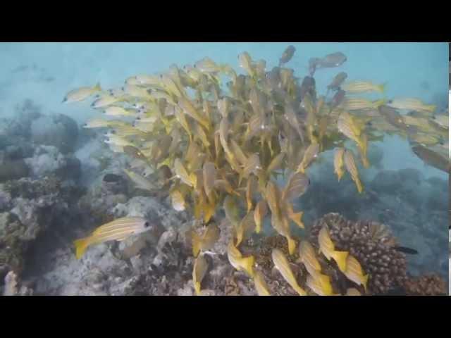 Malediven: Maldives island Reethi Beach (4) - House-reef snorkeling and Snorkel-trip