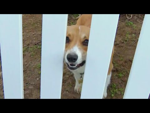 Corgi Caught Chasing Coyote On Home Security Camera