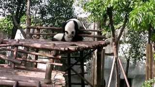 Панда-мама и непослушный малыш.