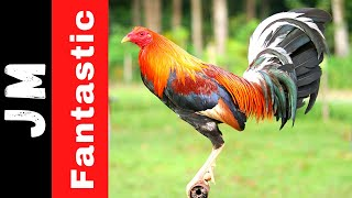 expo 2018 gamefowl - Free Online Videos Best Movies TV shows
