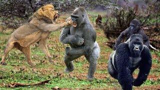 King Lions attack Gorillas, Herd Gorilla panic carry Baby on his back run away