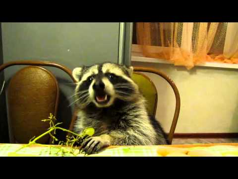 Raccoon Eating Grapes Neatorama