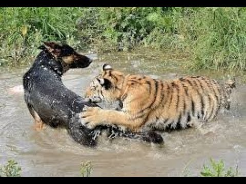 Tiger Vs Dog