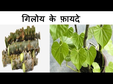 Video गिलोय के फ़ायदे | Health Benefits of Giloy | Giloy for Jaundice, fever, weight loss and Arthritis