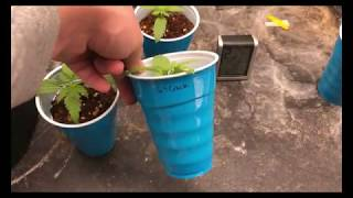 Germinating Cannabis Seeds and FloraFlex Nutrients