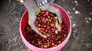 How Coffee Is Grown in Tanzania (Mondul Coffee Estates near Kilimanjaro)