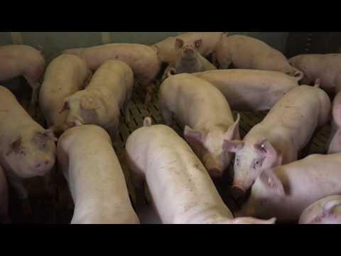 Proteinmarkt Betriebsreportage  Schowalter: Wintererbse als Schweinefutter seit Jahren etabliert