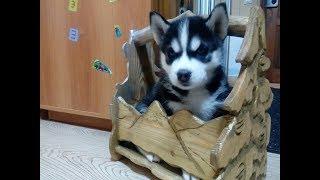 Хаски и реакция детей на появление щенка дома-Супер Хаски!-Husky Siberian-Incredible Huskies