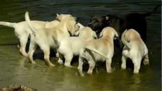 Labrador Puppies and Pit Bull Indy go swimming