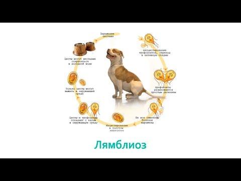 Лямблии размножаются в организме человека